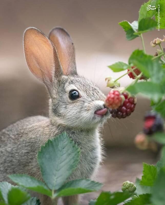 خرگوش و تمشک+عکس