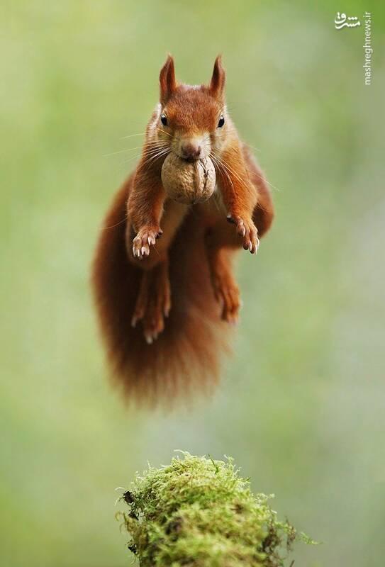 تلاش سنجاب برای حفظ گردو