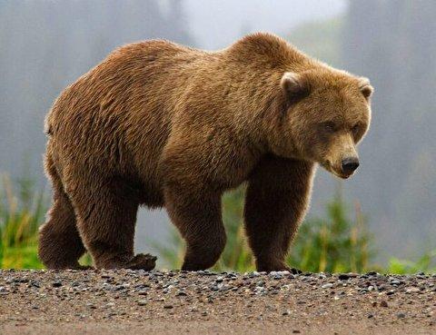 حمله خرس وحشی به فردی در خیابان