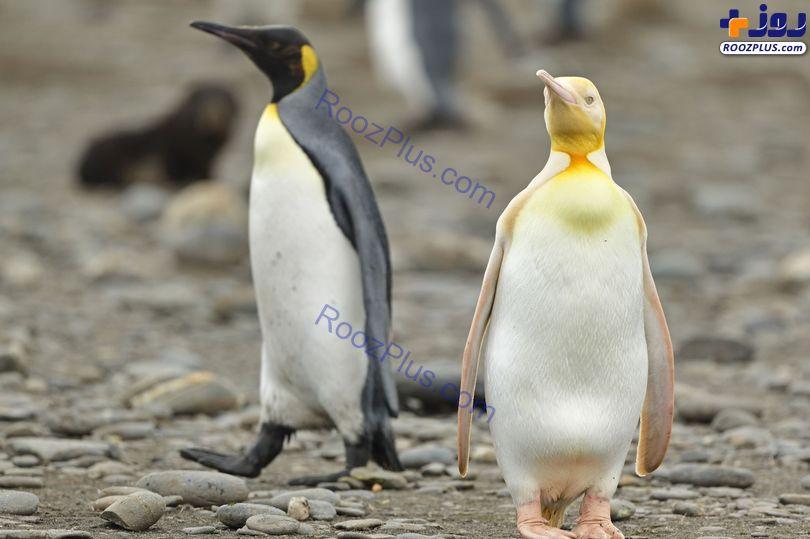 تنها ترین پنگوئن زرد دنیا+عکس