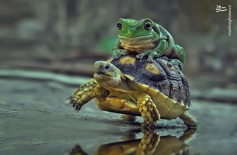 سواری گرفتن قورباغه از لاکپشت+عکس