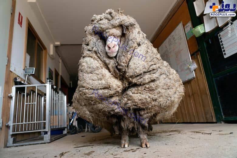 گوسفند عجیبی که ۳۵ کلیو پشم دارد+عکس