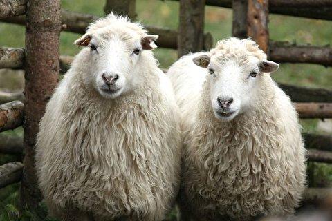پیدا شدن گوسفندی در جنگل با ۳۴ کیلو پشم!