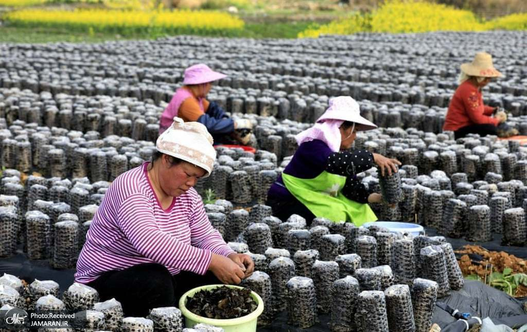 خشک کردن و فروختن قارچ سیاه خوراکی در چین + عکس