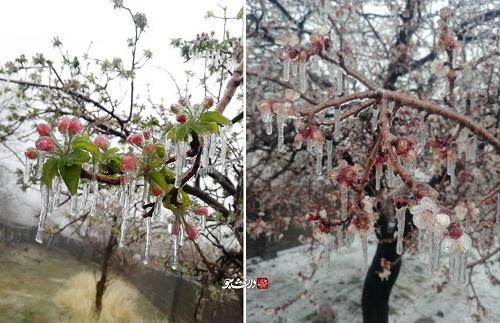 سرمازدگی بیسابقه شکوفههای درختان در کرمان+عکس