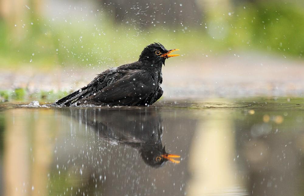آب خوردن جالب پرندگان + عکس