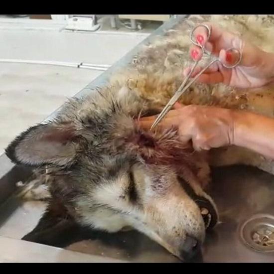 سگ هاسکی را با گرگ اشتباه گرفته بودند