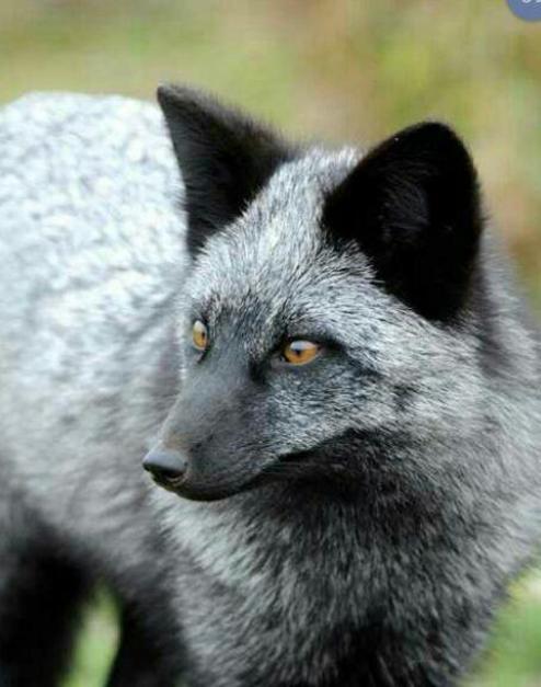 روباه نقره ای دیده بودین!؟ +عکس