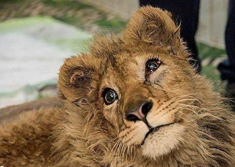 خشم پوتین از شکنجه وحشیانه بچه شیر