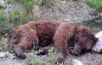 مرگ مشکوک یک قلاده خرس قهوهای در مازندران+عکس