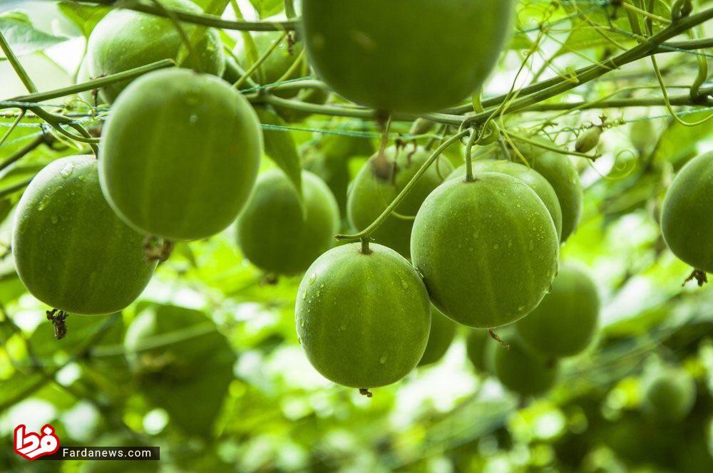 میوهای شبیه گردو که ۳۰۰ برابر شیرینتر از قند+عکس