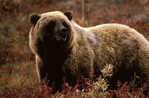 نجات مرد کشمیری از حمله خرس گریزلی