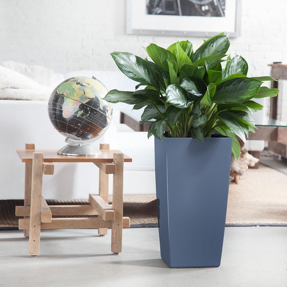 معرفی گیاهان آپارتمانی - آگلونما
