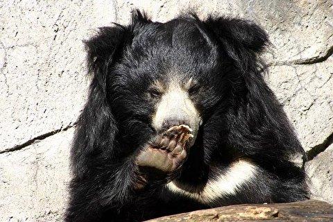 حمله خرس تنبل به دو جنگلبان