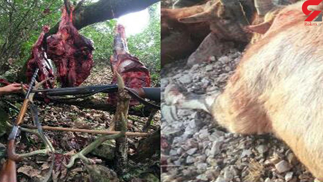 عکسی تلخ از شکار شوکا و مرال توسط شکارچیان آمل