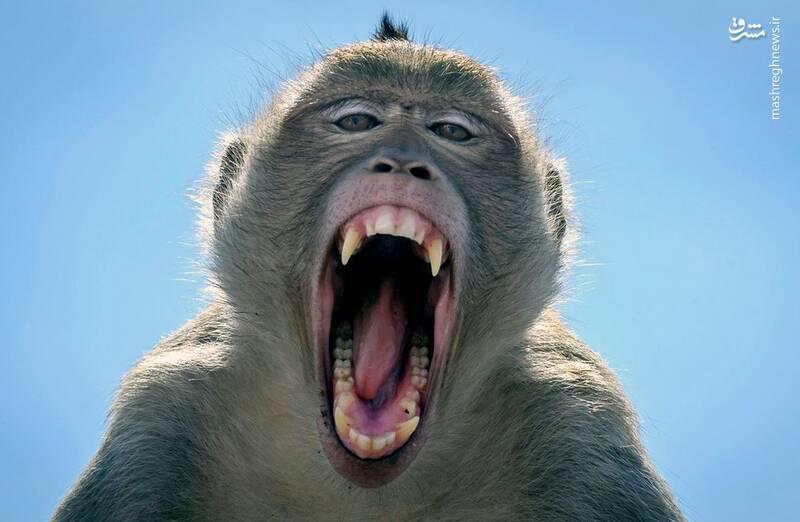خمیازه میمون+عکس