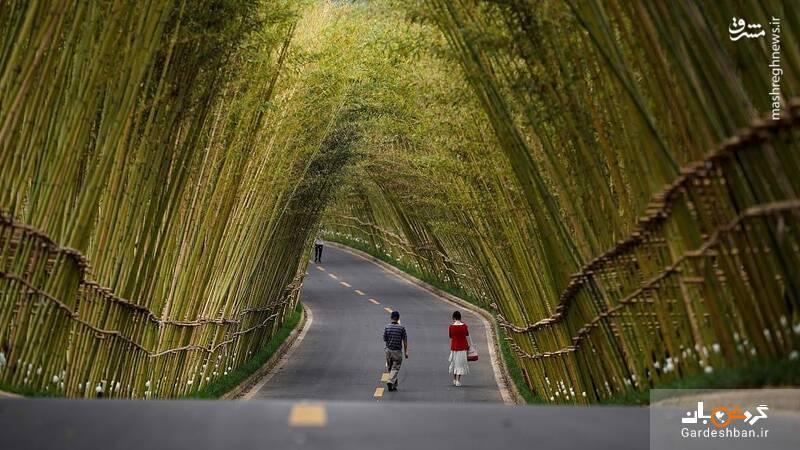جاده ای زیبا و عجیب پوشیده شده از بامبو+عکس