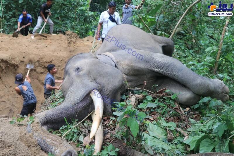 تلاش برای دفن فیل غول پیکر+عکس
