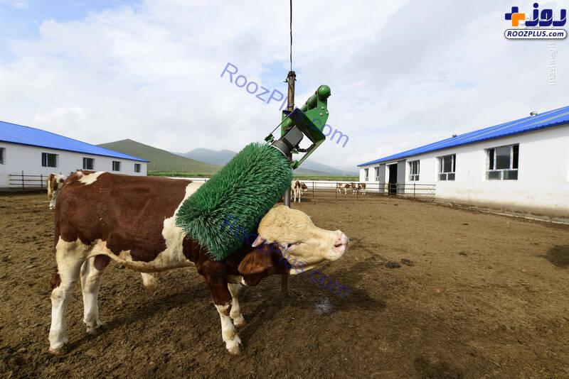 کارواش گاوها+عکس
