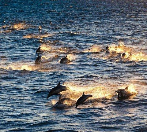 شنای زیبا و هماهنگ ۳۰۰ دلفین در سواحل کالیفرنیا آمریکا