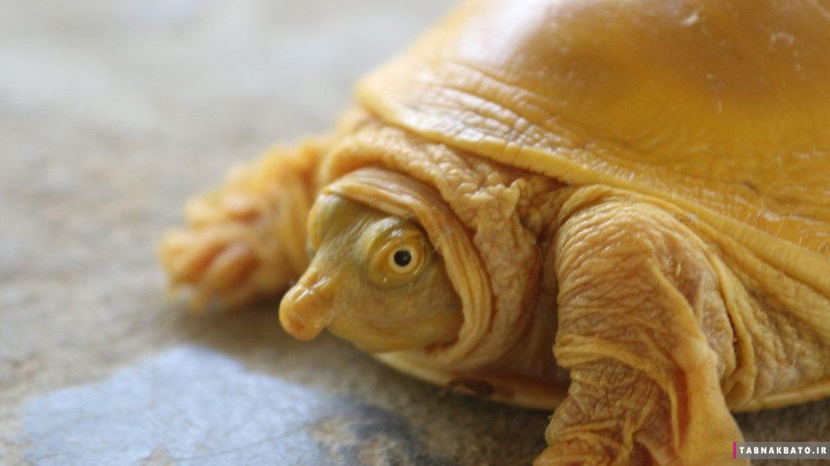 جنجال مذهبی در نپال بعد از پیدا شدن لاکپشت طلایی
