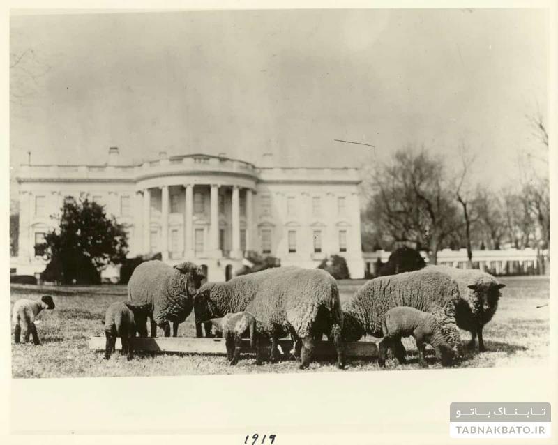 تاریخچه گوسفندهای کاخسفید