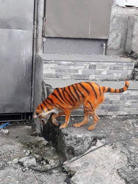 شبیه کردن سگ ولگرد به ببر در مالزی غوغا بپا کرد+تصاویر