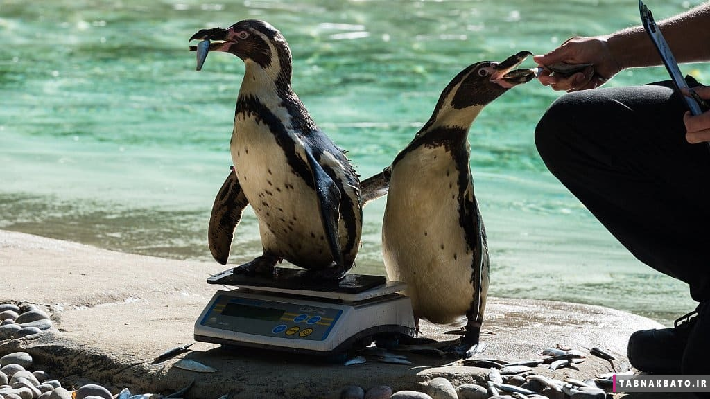 روشهای جالب و بامزه وزن کردن حیوانات