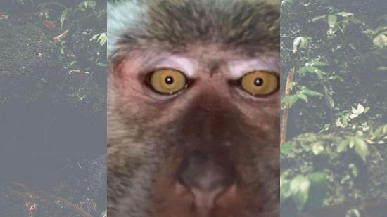 میمونِ سارق با موبایل دزدی از خودش سلفی گرفت +عکس
