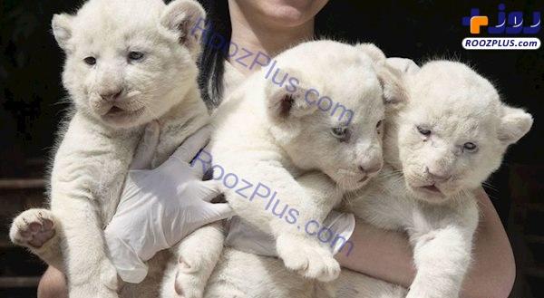 عکسی جالب از سه توله شیر سفید