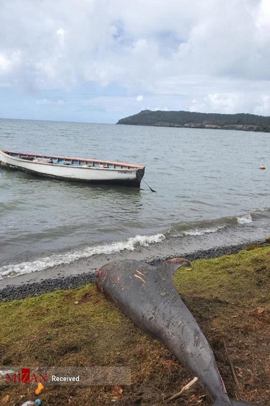 مرگ دلفینها در ساحل موریس بر اثر آلودگی نفتی دریا+ عکس