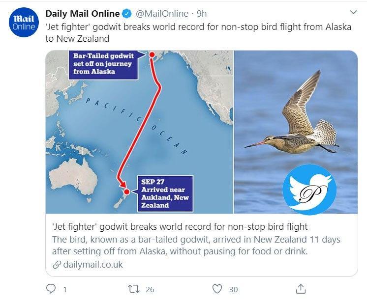 یک پرنده رکورددار پرواز بدون توقف از آلاسکا تا نیوزیلند +عکس