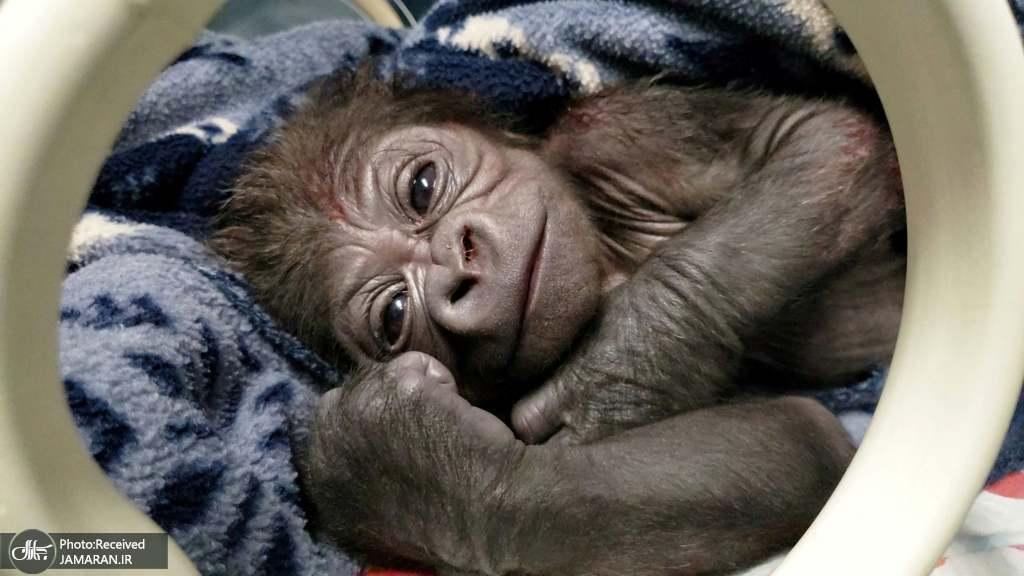 نوزاد تازه متولد شده یک گوریل پس از زایمان سزارین +عکس