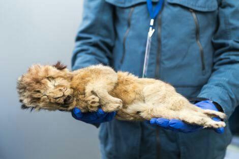 جسد سالم یک جفت توله شیر در یخبندان سیبری+عکس