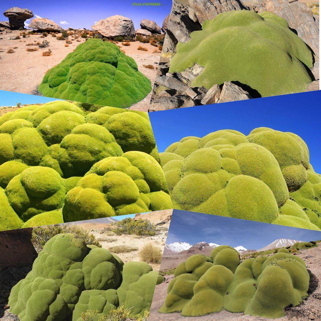 گیاهی همیشه سبز که قدمت ۳هزار ساله دارد +عکس