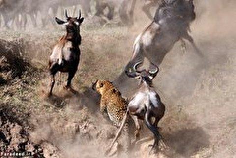 حمله هیجان انگیز یوزپلنگ به کلهای یالدار