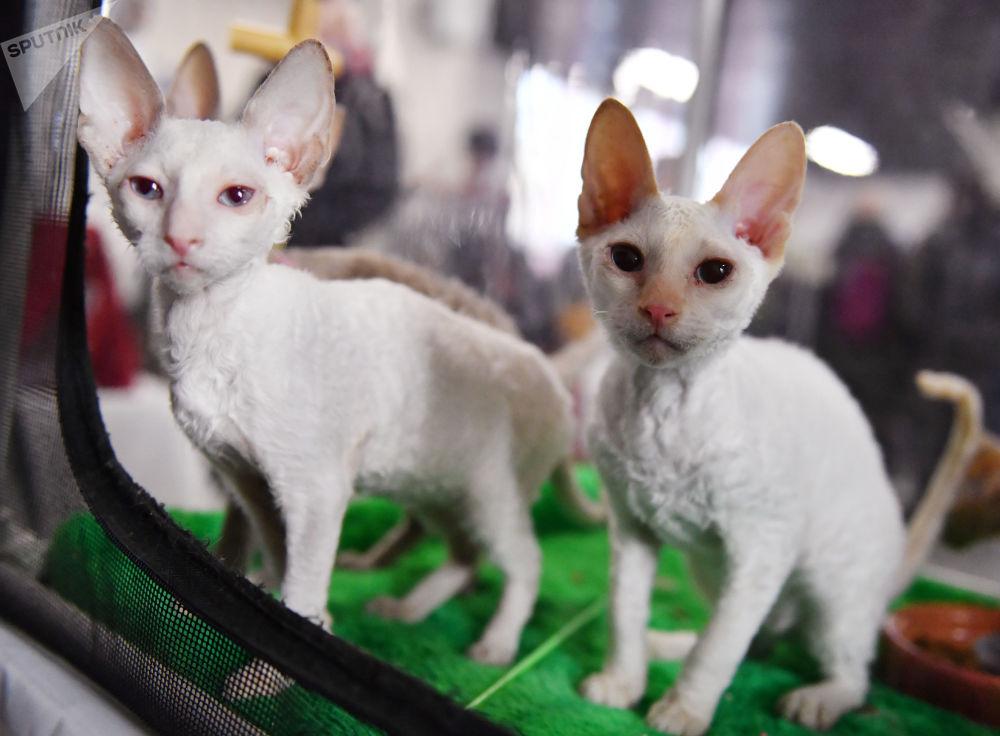 نمایشگاه گربهها در مسکو