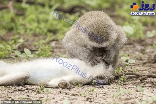 تنفس مصنوعی یک میمون برای نجات همنوعش+عکس