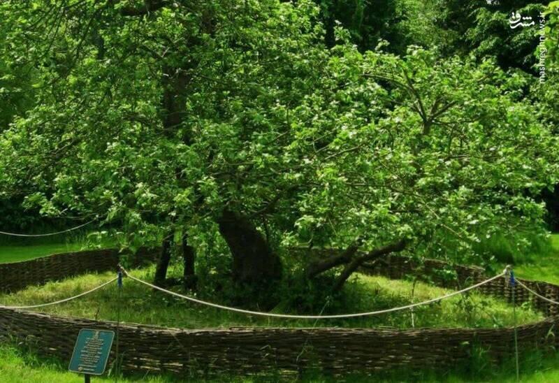 درخت سیب نیوتن کجاست؟+عکس