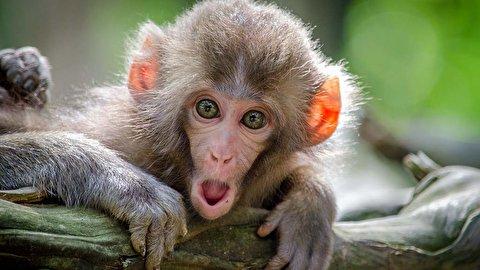 سرقت میمونها از یک خانواده بریتانیایی در بالای صخره