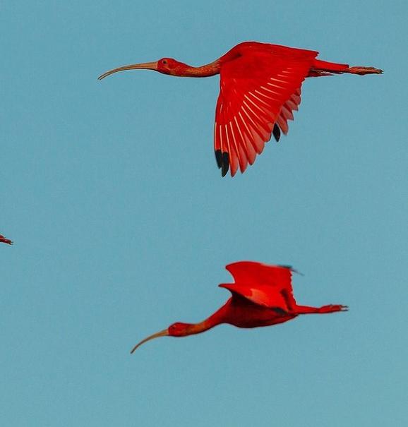 پرندهای عجیب با رنگ قرمز+عکس