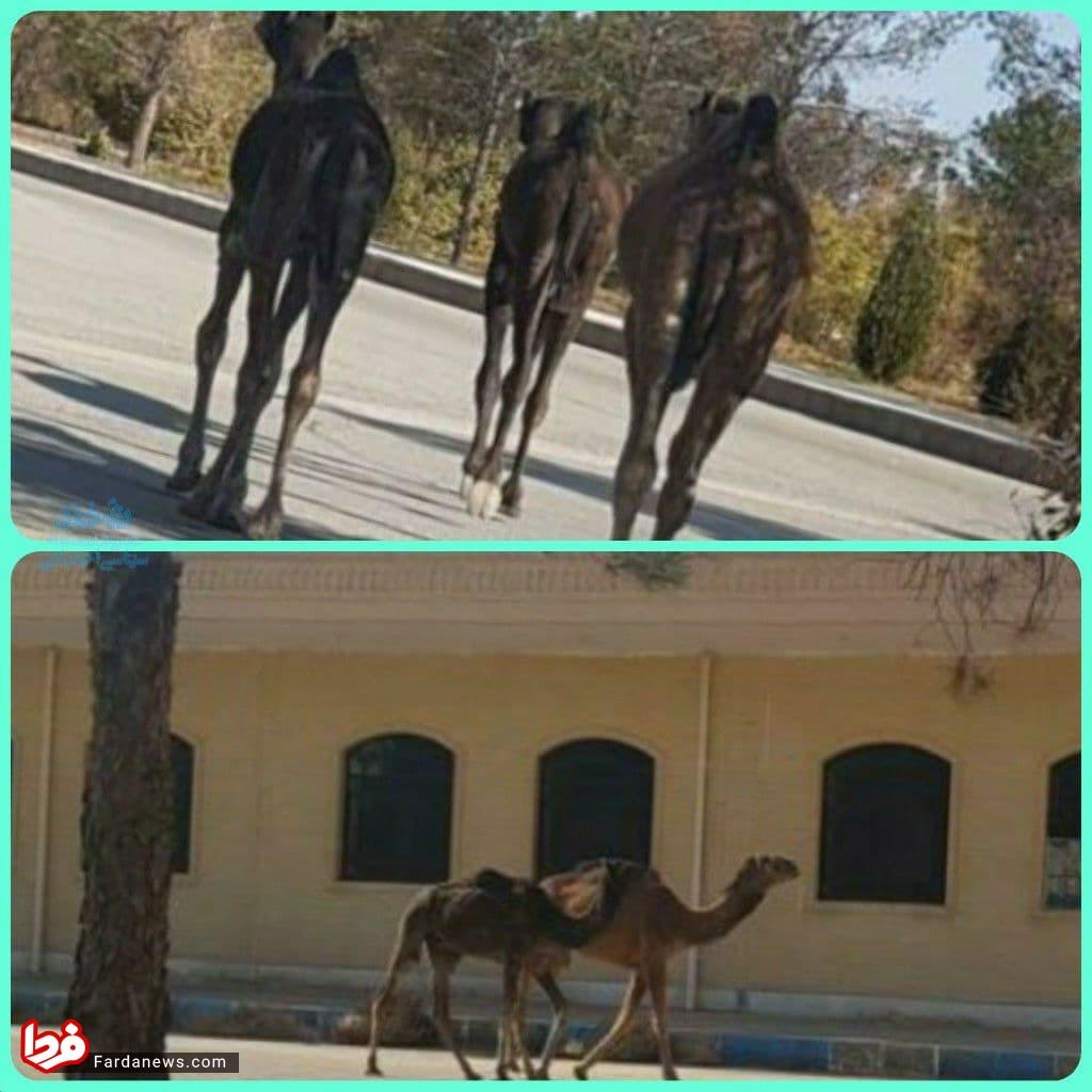 در اوج کرونا پای شترها به دانشگاه آزادمیبد یزد باز شد+عکس
