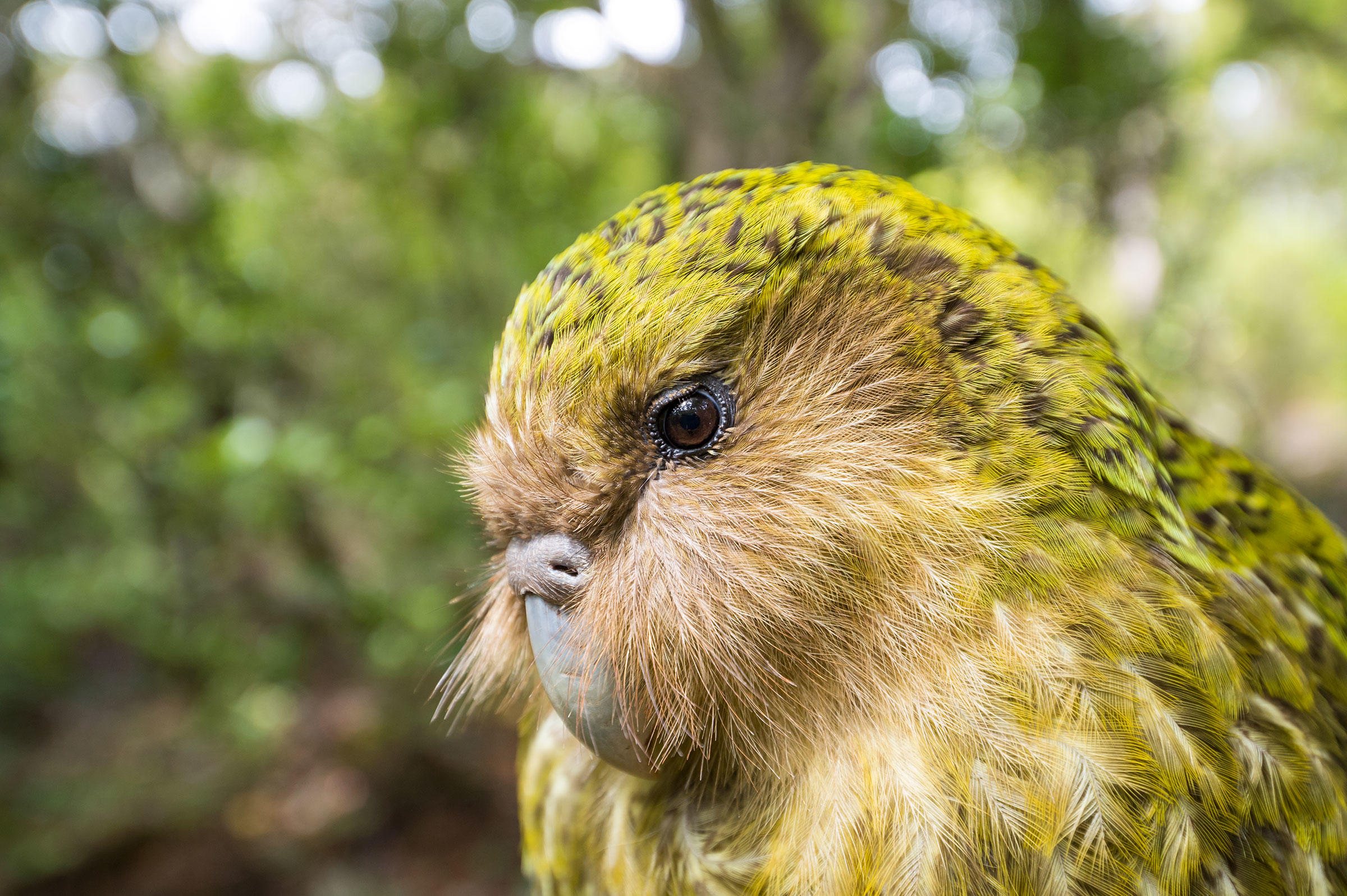 سنگین ترین طوطی جهان که پرنده سال ۲۰۲۰ نیوزیلند شد+ عکس