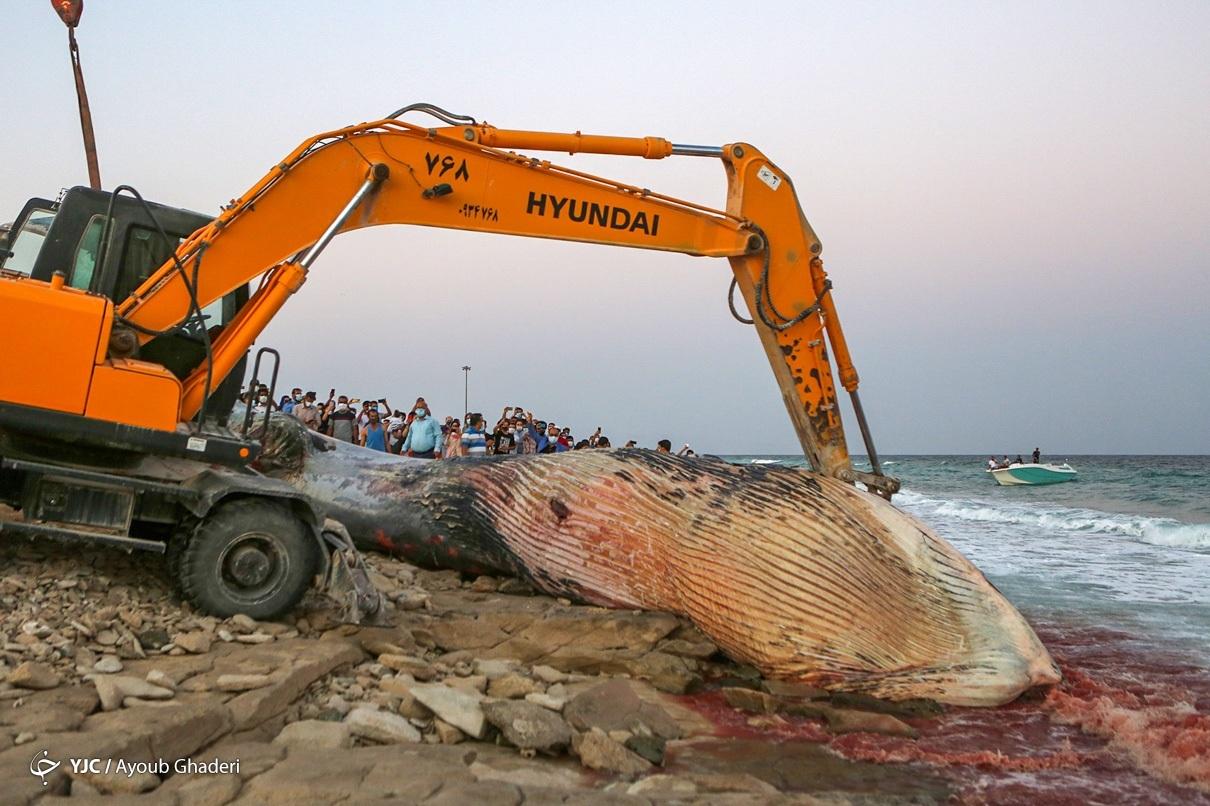 مرگ نهنگ غول پیکر در ساحل جزیره کیش + عکس