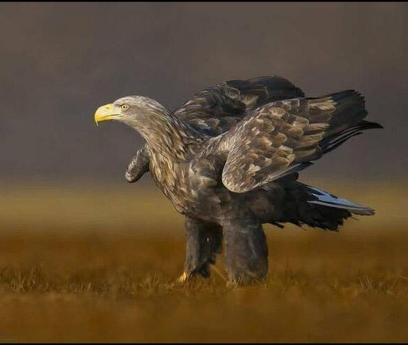 بزرگترین عقاب ایران + عکس