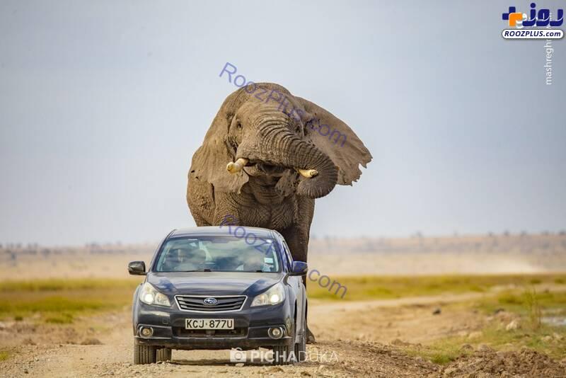 لحظه حمله فیل عظیم الجثه به یک خودرو در جاده+عکس
