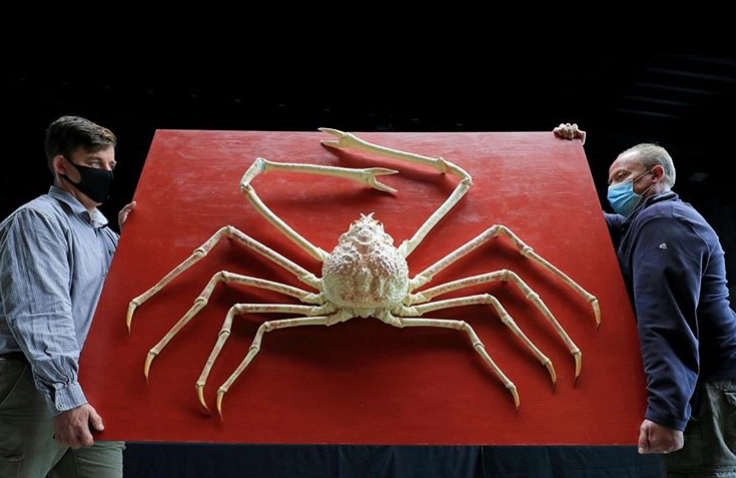 حراج خرچنگ عنکبوتی غول پیکر و نادر و ژاپنی