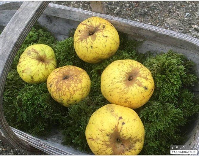 سیب کریستیانو رونالدو، کشف اتفاقی گونه جدیدی از سیب