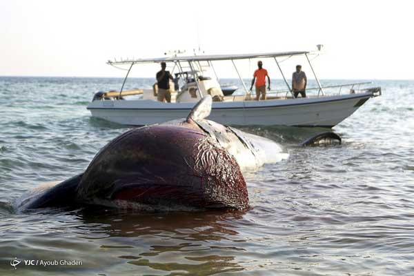 مرگ دومین نهنگ به گل نشسته در جزیره کیش+عکس