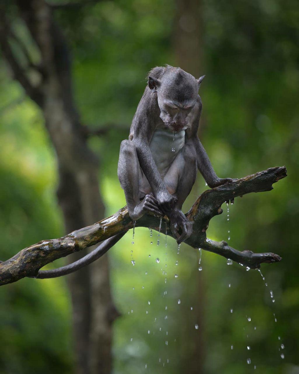 میمونی در زیر باران + عکس